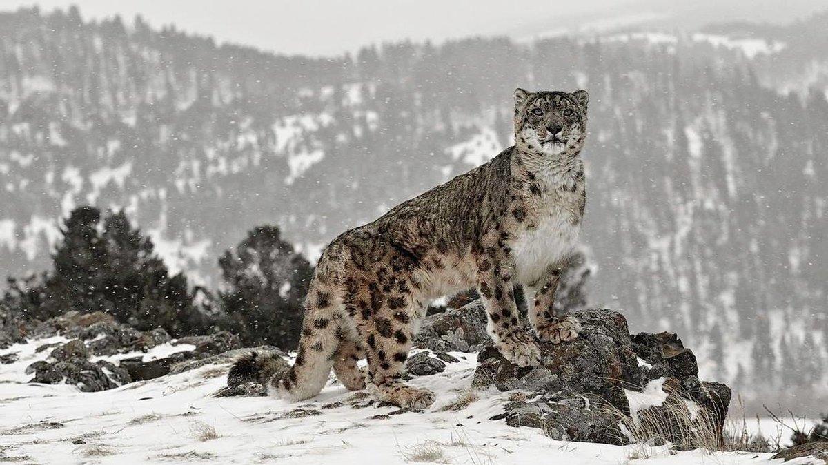 Снежный барс: среда обитания