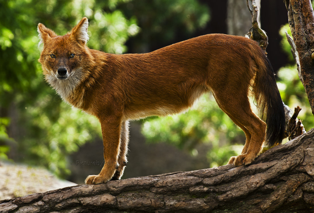 Красный волк: внешний вид