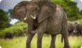 Африканский саванный слон
