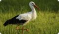 Аист белый: фото и описание птицы. Обитание, питание, размножение