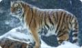 Амурский тигр (уссурийский, сибирский дальневосточный): красная книга