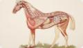 Анатомия и физиология лошади. Внутреннее строение и системы лошади