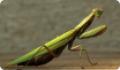 Обыкновенный богомол: питание, образ жизни, места обитания