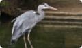 Цапля серая: фото и описание птицы. Обитание, питание, размножение