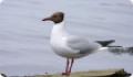 Взрослая особь чайки озерной (Larus ridibundus)