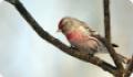 Чечетка (Acanthis flammea). Птица на ветке дерева