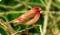 Чечевица: фото и описание птицы. Обитание, питание, размножение