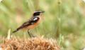 Чекан луговой (Saxicola rubetra)