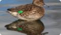 Чирок-свистунок: фото и описание птицы. Обитание и питание