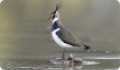 Чибис: фото и описание птицы. Обитание, питание, размножение