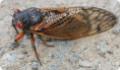 Периодические цикады