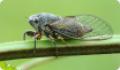 Цикада обыкновенная: питание, образ жизни, места обитания