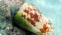 Конус - моллюск, опасный для человека