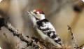 Дятел пестрый малый: миграции, размножение и питание птиц