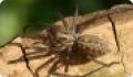 Домовый паук: питание, образ жизни, места обитания