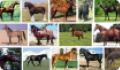 Породы лошадей и пони