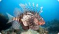Скорпеновые рыбы: ядовитые крылатки, морские ерши и бугорчатки. Фото