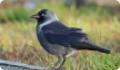 Галка: фото и описание птицы. Обитание, питание, размножение