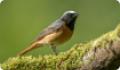 Горихвостка обыкновенная, или горихвостка-лысушка