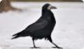 Грач: фото и описание птицы. Обитание, питание, размножение