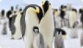 Императорский пингвин: интересные факты о животном. Обитание и питание