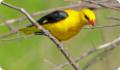 Иволга: фото и описание птицы. Обитание, питание, размножение