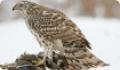 Ястреб-тетеревятник: местообитание птицы, питание и размножение