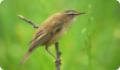 Камышевка-барсучок: фото и описание птицы. Обитание и питание