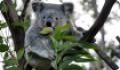Коала: интересные факты о животном. Где обитает и чем питается