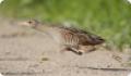 Коростель, или дергач: фото и описание птицы. Обитание и питание