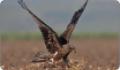 Приземление черного коршуна (Milvus migrans)