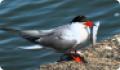 Крачка речная: фото и описание птицы. Обитание, питание, размножение
