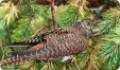 Кукушка (Cuculus canorus), спрятавшаяся в хвойных ветках