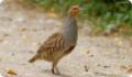 Куропатка серая: фото и описание птицы. Обитание, питание, размножение