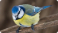 Лазоревка: фото и описание птицы. Обитание, питание, размножение