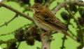 Конек лесной (Anthus trivialis) в кроне дерева