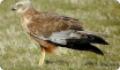 Лунь болотный (Circus aeruginosus): питание и размножение хищной птицы