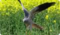 Лунь луговой(Circus pygargus) - дневная хищная птица. Питание и размножение