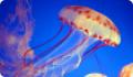 Медузы: сцифоидные и кубомедузы. Особенности ядовитых видов медуз
