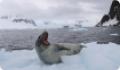 Морской леопард: интересные факты о животном. Обитание и питание