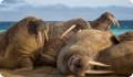 Морж: интересные факты о животном. Обитание, питание, размножение
