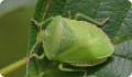 Щитник зеленый древесный: питание, образ жизни, места обитания