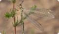 Обыкновенный муравьиный лев: питание, образ жизни, места обитания