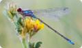 Стрелка красноглазая: питание, образ жизни, места обитания