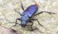 Фиолетовый усач: питание, образ жизни, места обитания