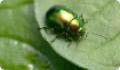 Листоед зеленый мятный: питание, образ жизни, места обитания