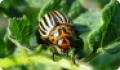 Колорадский жук: питание, образ жизни, места обитания