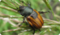 Хлебный жук: питание, образ жизни, места обитания