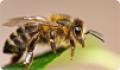 Медоносная пчела: питание, образ жизни, места обитания