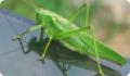 Кузнечик зеленый: питание, образ жизни, места обитания